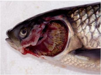 鱼类细菌性烂鳃病治疗案例
